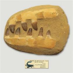 Fósil mandíbula Mosasauro...